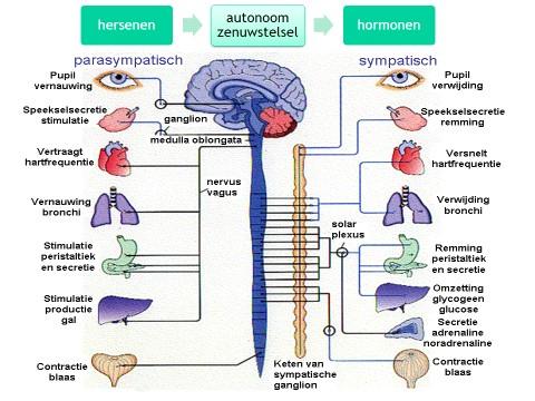 on adrenal cortex